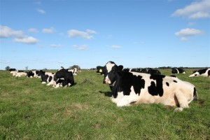 Die 29 eng-aneinander liegendenden Rinder beim Sonnen