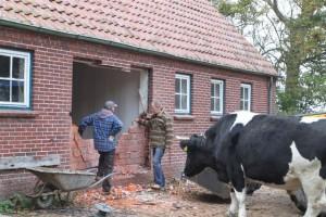 Willem ist sicher der Ansicht, dass er die Wand auch mit seinen Hörnern hätte kippen können