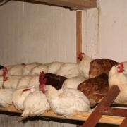 Wie die Hühner auf der Stange