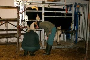 Der Tierarzt untersuchte beide Hinterbeine, wobei er nicht nur eine Klauenentzündung feststellte, sondern auch ein versteiftes Kniegelenk.