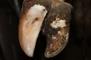 Nach der Klauenbehandlung, (schichtweises Abschneiden der Hornhaut) wurde die Entzündung punktiert.