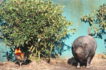 Was wohl Rudi unter dem Rhododendron mit unserem Marathonläufer Hahn Heinerich zu diskutieren hatte? Ich, Rudi, buddel jetzt den Busch aus, und Du Wicht läufst jetzt besser..