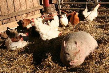 Selbst wenn dies wichtig gewesen wäre, interessieren solche Gespräche Lui dann nicht, wenn er satt ist, das Stroh weich, und die Sonne auf die rosa Haut scheint. Die Hühnerdamen, wie immer schwer beschäftigt, wenn frisches Stroh eingestreut wird.
