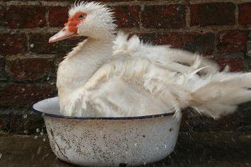Wo Wasser drin ist, passt auch eine Ente hinein. Heute stand die frisch gefüllte Schweine-Trinkschüssel entenrichtig. Naja, war wohl nur eine Katzenwäsche?