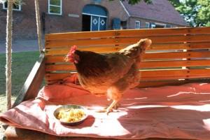 Elvira, unser dementes Huhn