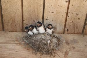 Aus unzähligen Nestern im Kuhstall blicken derzeit viele geschlüpfte Schwalbenkinder.