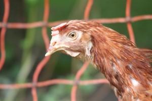 So sehen Hühner aus einer Bodenhaltung in Niedersachsen aus.
