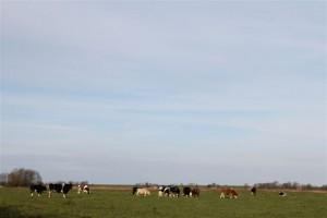 Noch immer geniessen die Rinder den täglichen Weidegang.