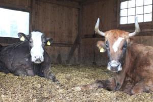 Während alle Rinder seit Tagen auf die Weiden gehen, bleiben Gisela und Penelope auf dem Hof.