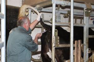 Unser Tierarzt Dr. Urbich bei der Blutentnahme
