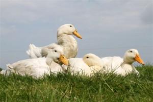 Die erst vor 2 Monaten befreiten Enten haben inzwischen die Weiden,