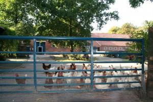 Diese Hühner haben es geschafft und sind Euch entkommen..