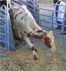 """Klara wurde am 07.04.2002 geboren. Lt. Rinderpass hat sie bundesweit in 6 verschiedenen Ställen verbracht. Sie hat Kälber geboren, die sie nie kennenlernen durfte und wurde ausgemolken. Im Sommer 2010 wurde Klara bis zum Skelett abgemagert auf einem """"Viehmarkt"""" entdeckt."""