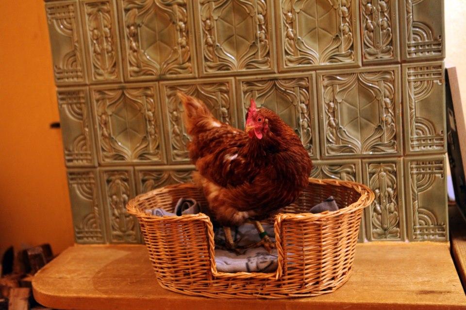 Hühnerstange? Kann ja jeder! Favchen hat es sich heute auf der Ofenbank gemütlich gemacht.