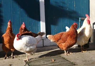 glückshühner