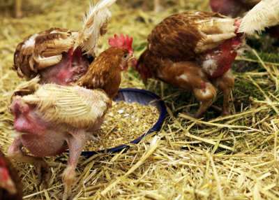 bio-freiland-hühner