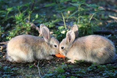 kaninchen möhre